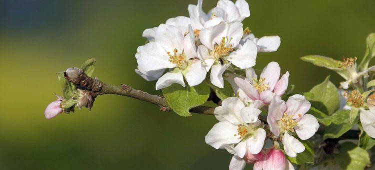 apple-blossoms-4194907_960_720