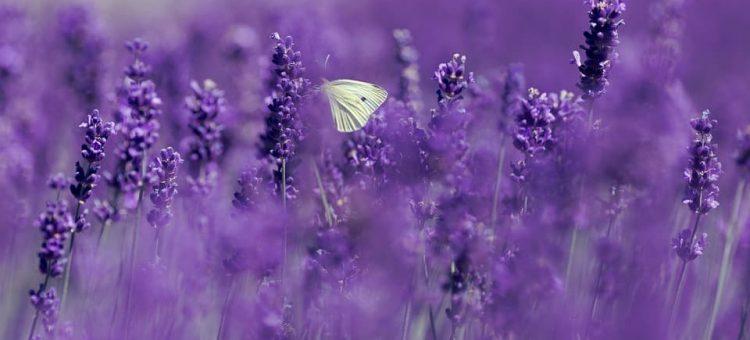 lavender-4186957_960_720-min