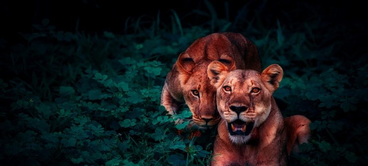 lions-2702828_960_720